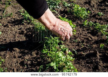 Weeding hand in the vegetable garden