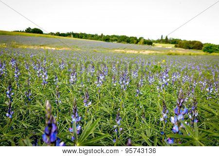 Bluebonnet - Lupine field
