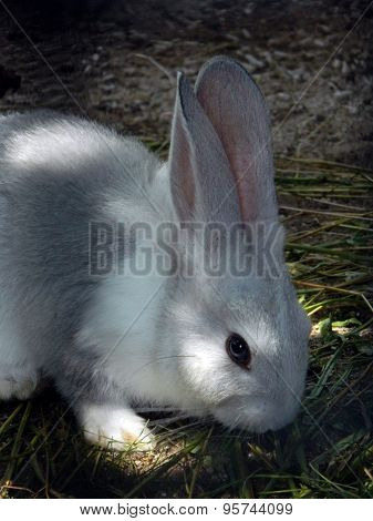 Young domestic rabbit