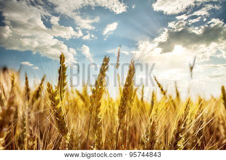 Ripe ears of wheat under the blue sky
