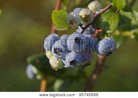 Ripening Blueberries In Summer