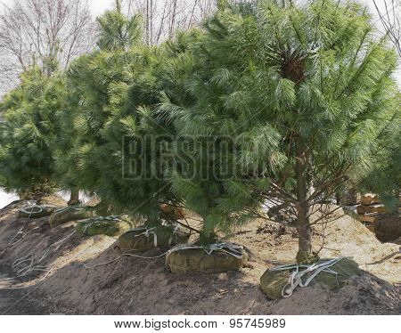 Tree Farm Pines With Root Balls