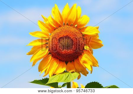 Sunflower against the blue sky. Agricultural business.