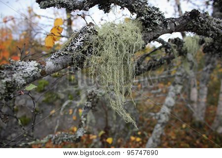 Birch branches in the autumn forest
