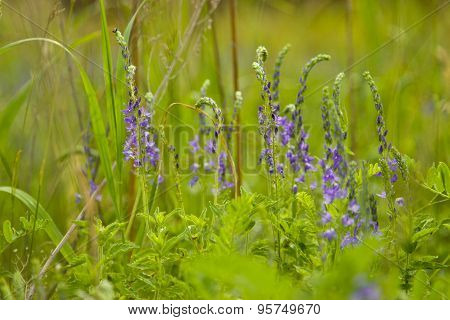 Veronica Flowers On A Green Meadow