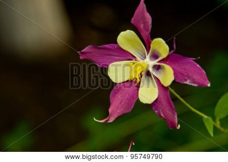 One Flower Aquilegia