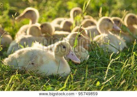 Little Goslings Walking