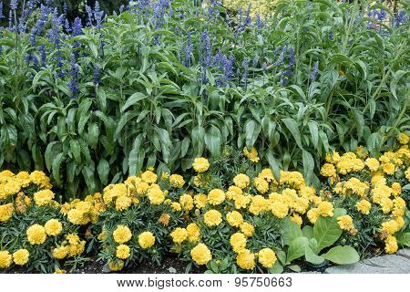 Yellow Marigolds With Blue Flowers