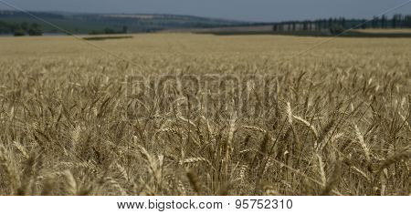 The Wheat Field To Shoot Not In Focus