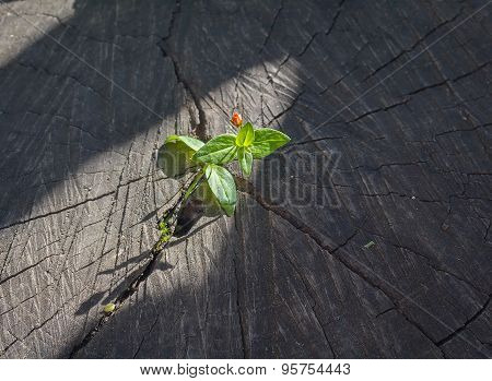Sprout Sprouting From An Old Tree Stump And Lighting Beam Of The Sun