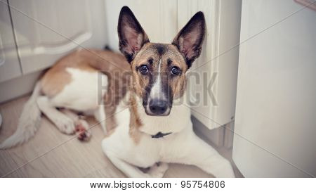 Domestic Dog