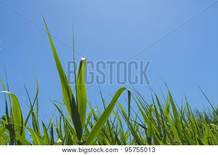 green reed field,blue sky close up