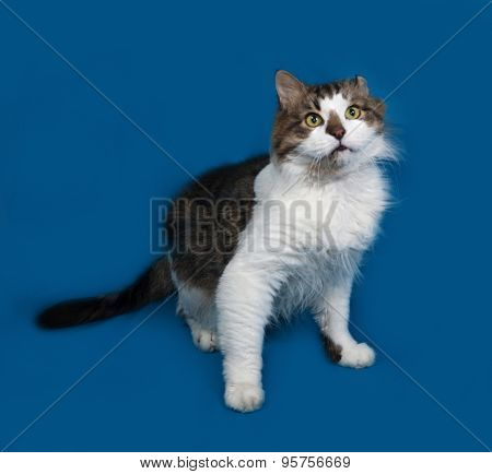 White And Fluffy Tabby Cat Standing On Blue