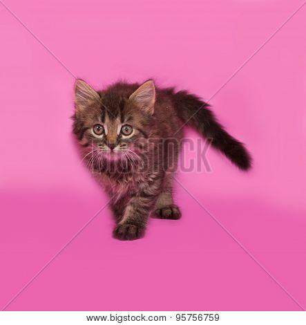 Siberian Fluffy Tabby Kitten Standing On Pink