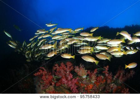 Shoal of Bigeye Snappers fish underwater in ocean