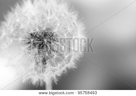 Beautiful dandelion with seeds, close-up