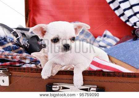 Adorable chihuahua dog in suitcase with clothing close up