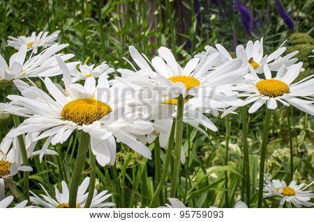 Yellow White Daisy Background