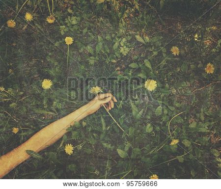 Hand With Yellow Dandelion