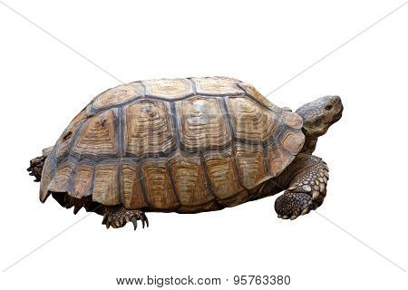 African Spurred Tortoise Or Geochelone Sulcata