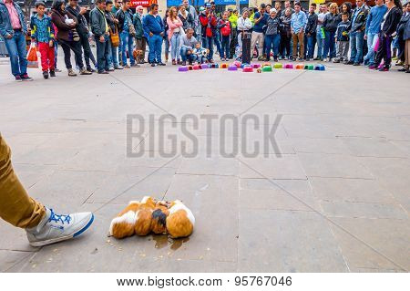 Guinea pig street gambling one animal is about to go into colorful upturned plastic bowl and crowd a