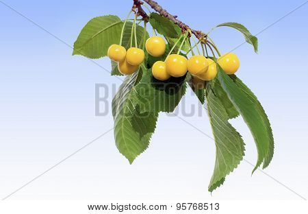Cherry Twig With Yellow Cherries