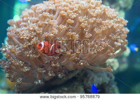 Red Clown Playing In Coral