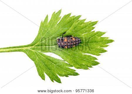 Ladybird Larva On Green Leaf