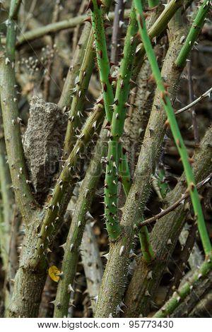 Closeup of thorns of rose. Macro.