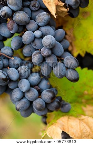 Large bunch of red wine grapes.
