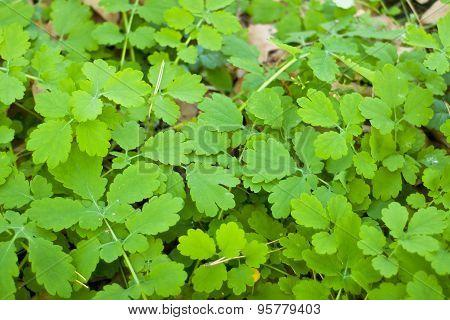 Carpet Of Green Leaves