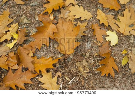 Orange Oak Leaves