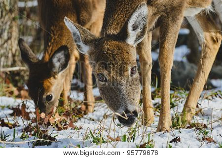 American White Tail Deer in winter forest