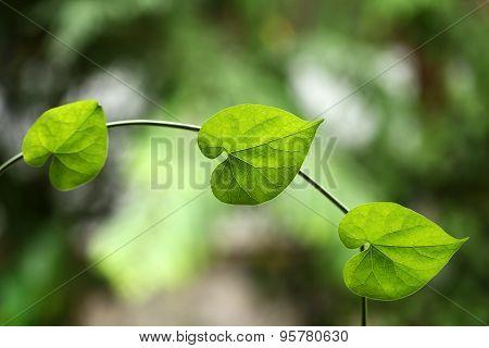 Heart shape green leaves
