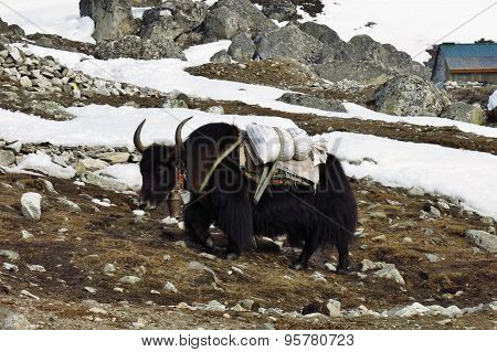 Black Yak Carrying Goods