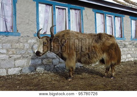 Yak Standing In Front Of A Lodge In Gokyo