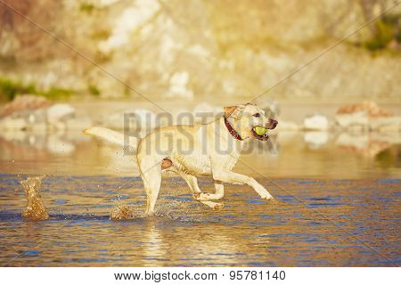Dog Is Running In The Water