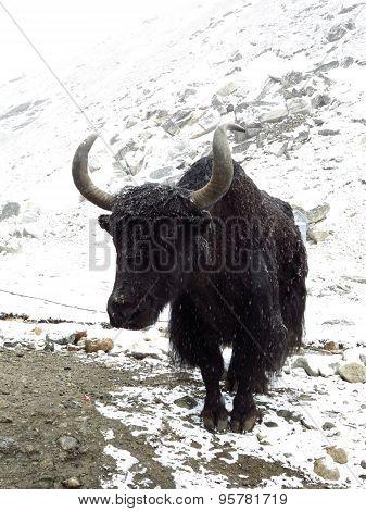 Black Old Yak