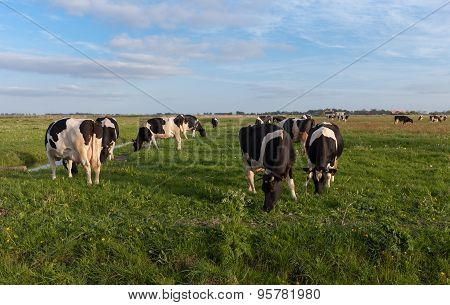 Cows grazing in evening sun in dutch countryside