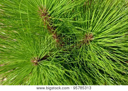 Close up leaf Fir pine ,abstract nature background