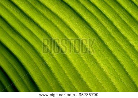 Nature abstract  green banana leaf Diagonal lines