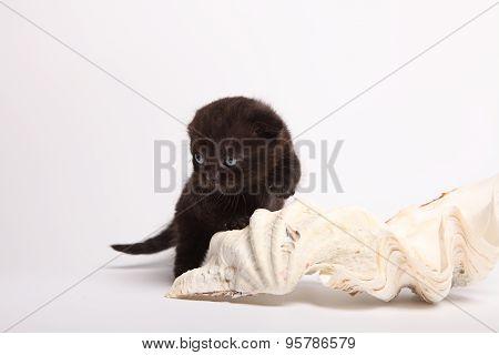 Scottish Fold Kitten. Kitten On A White Background.