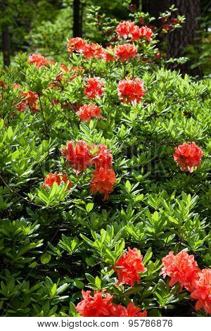 Many Orange Rhododendrons In The Garden