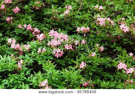 Many Rhododendrons In The Garden