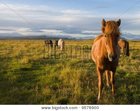 Icelandic Horses In The Wild