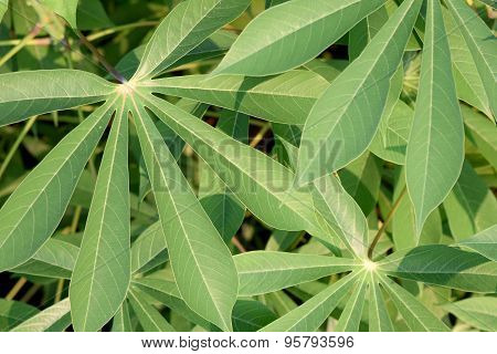 Nature abstract background , the green leaf cassava