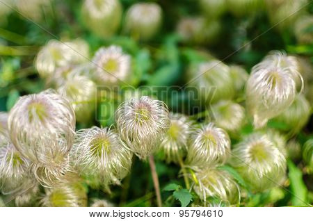 Group Of Clematis Flower Heads Gone To Seed In Late Summer Or Early Autumn