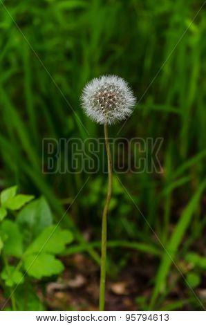 Single Dandelion Taraxacum Among Long Wild Green Grass Has Gone To Seed With White Fluffy Head
