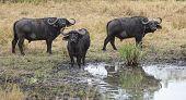 Постер, плакат: Cape Buffaloes