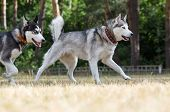 stock photo of dry grass  - Two Siberian Husky plays in the park - JPG
